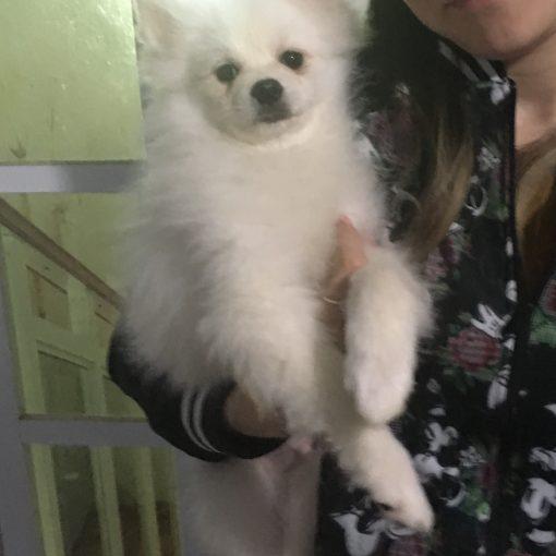 Nuestro primer cachorro Pomerania blanco en el criadero Hacienda Tornado.
